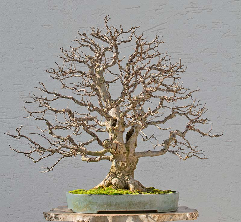 Bonsai Photo of the Day 2-19-2018