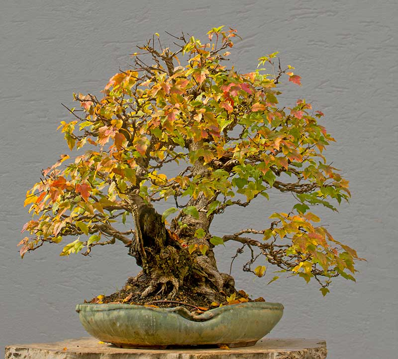 Bonsai Photo of the Day 2-20-2018