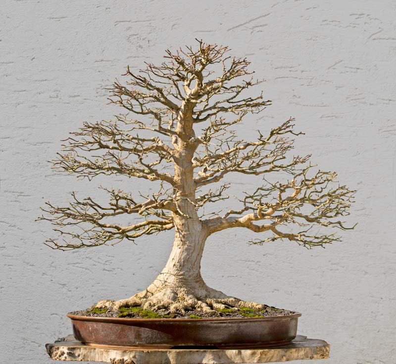 Bonsai Photo of the Day 2-21-2018