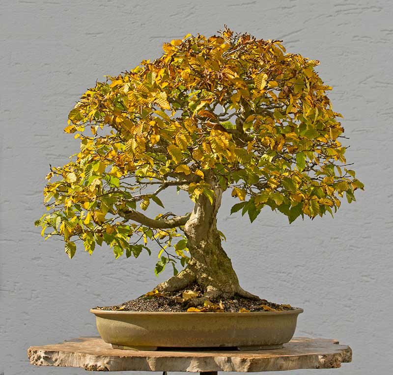 Bonsai Photo of the Day 2-22-2018