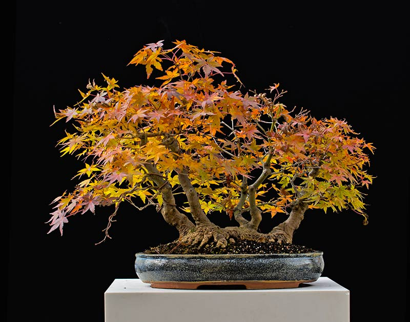 Bonsai Photo of the Day 2-23-2018