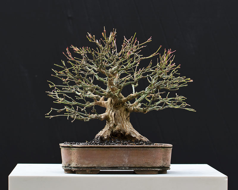Bonsai Photo of the Day 2-26-2018