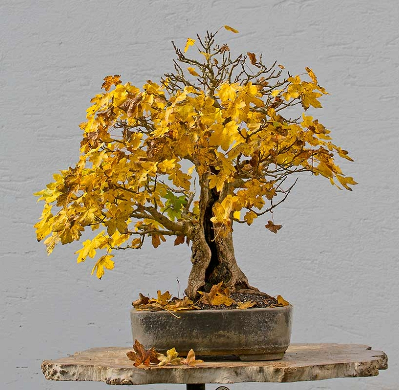 Bonsai Photo of the Day 2-12-2018