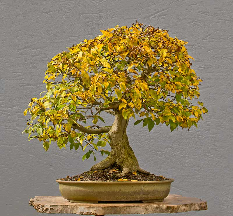 Bonsai Photo of the Day 2-2-2018