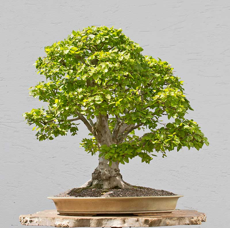 Bonsai Photo of the Day 2-6-2018