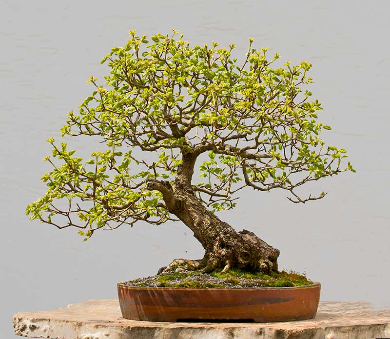 Bonsai Photo of the Day 2-7-2018