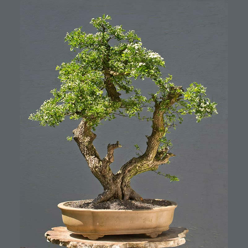 Bonsai Photo of the Day 2-8-2018