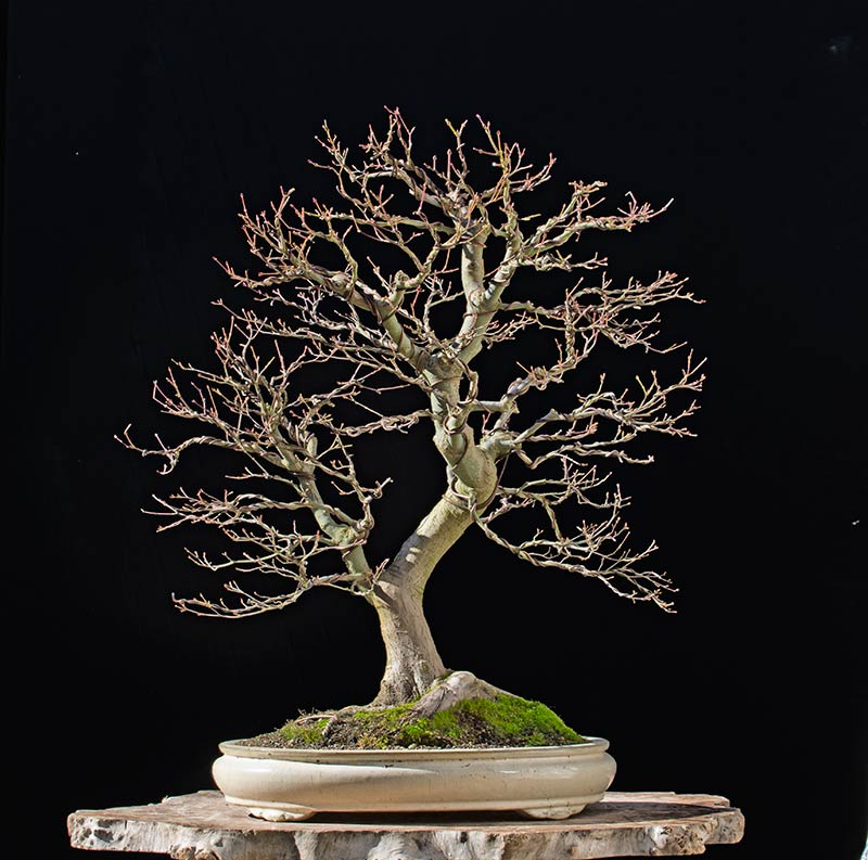 Bonsai Photo of the Day 2-16-2018