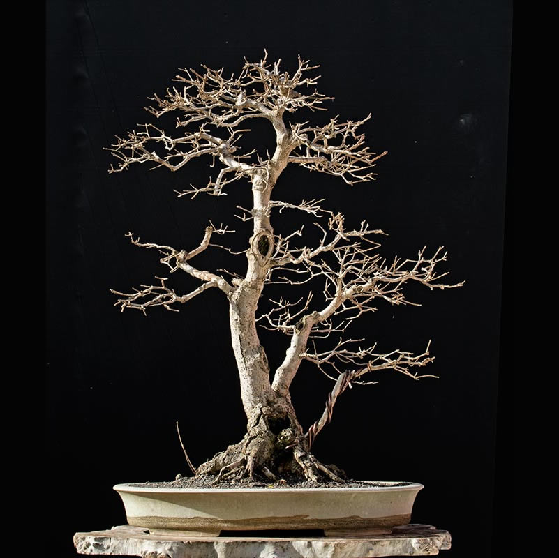 Bonsai Photo of the Day 3-1-2018