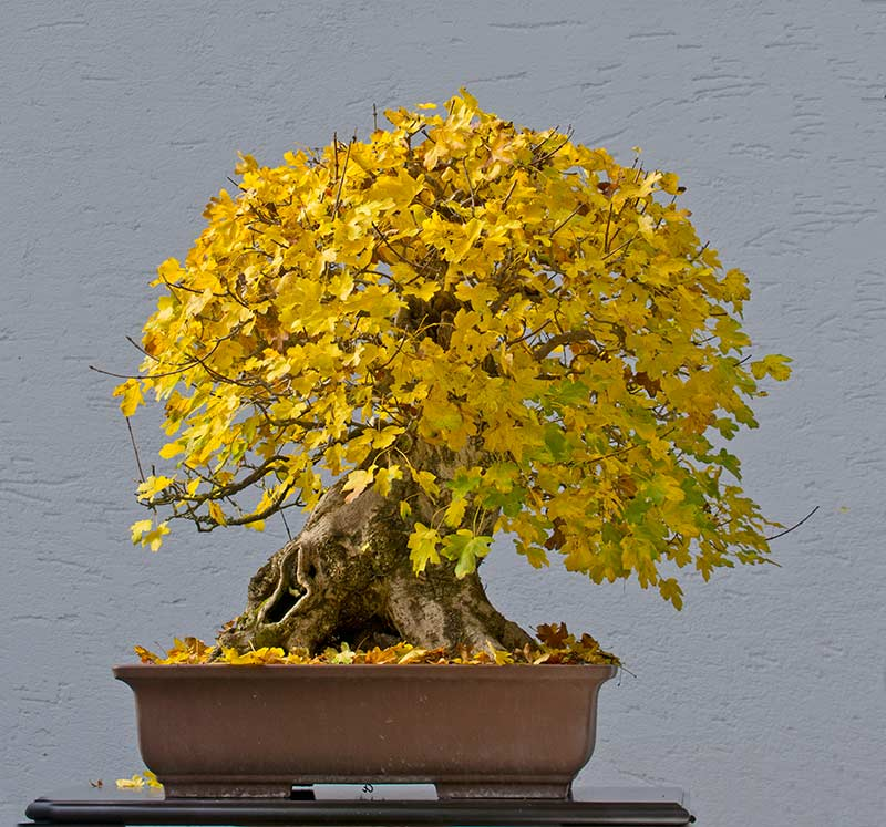 Bonsai Photo of the Day 3-12-2018