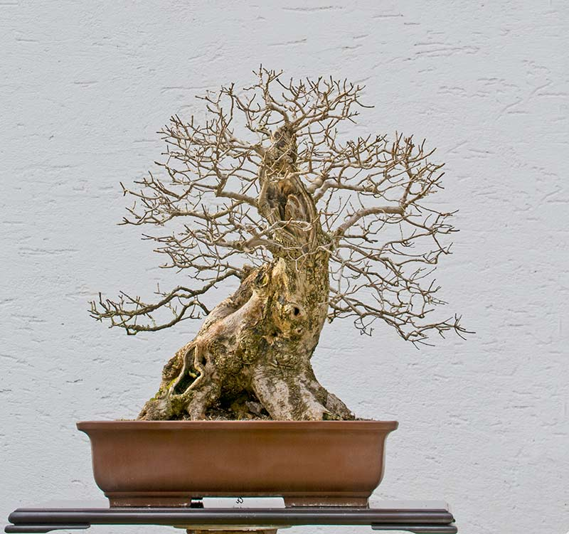 Bonsai Photo of the Day 3-13-2018