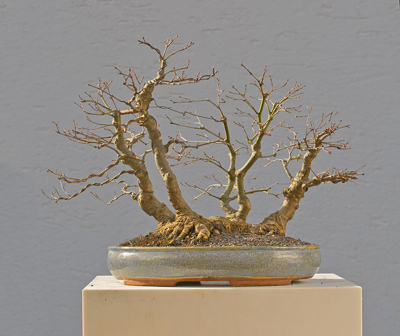 Bonsai Photo of the Day 3-15-2018