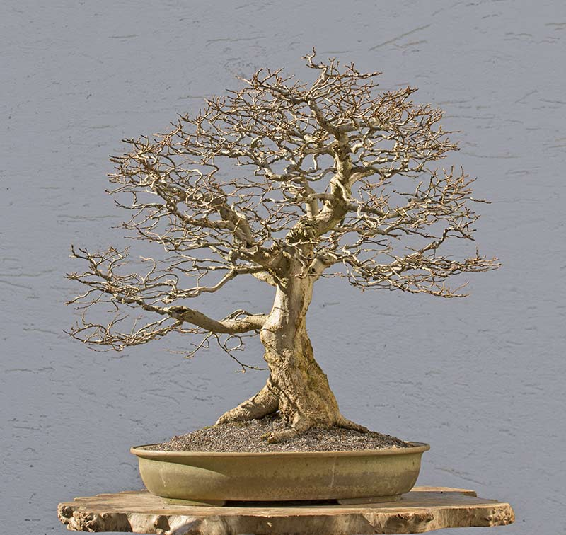 Bonsai Photo of the Day 3-16-2018