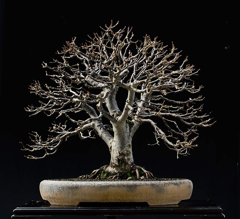 Bonsai Photo of the Day 3-19-2018