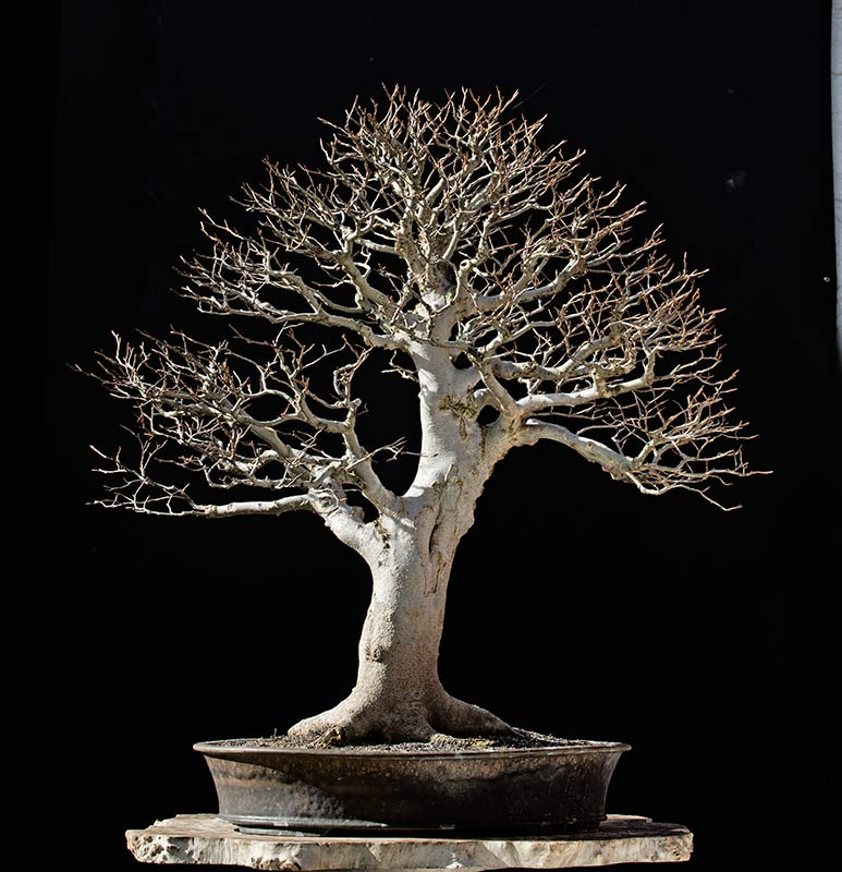 Bonsai Photo of the Day 3-2-2018