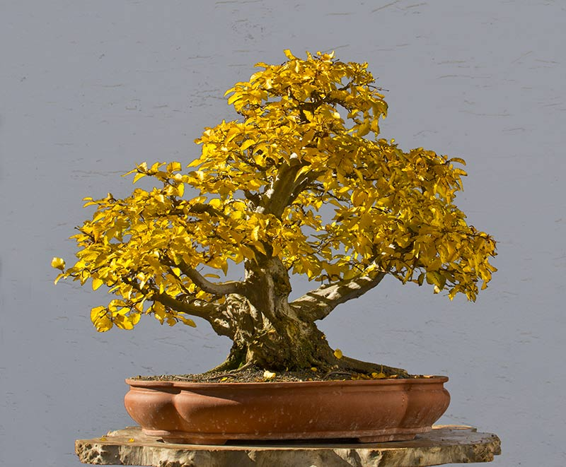 Bonsai Photo of the Day 3-20-2018