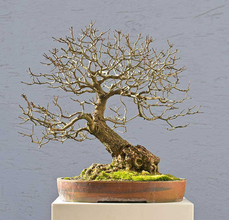 Bonsai Photo of the Day 3-22-2018