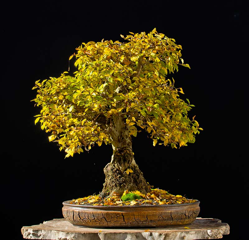 Bonsai Photo of the Day 3-23-2018