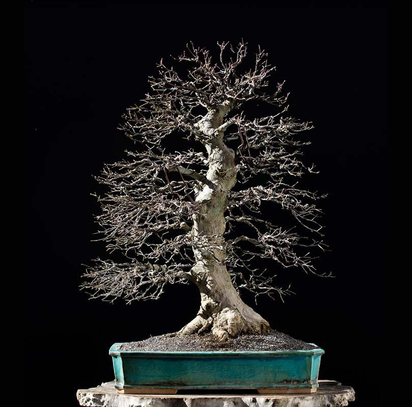 Bonsai Photo of the Day 3-26-2018