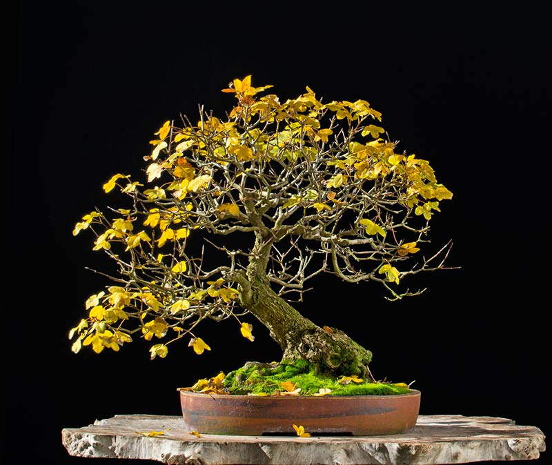 Bonsai Photo of the Day 3-27-2018