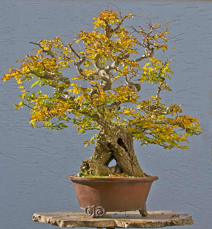 Bonsai Photo of the Day 3-28-2018