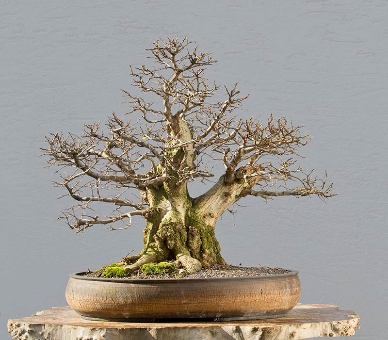 Bonsai Photo of the Day 3-29-2018