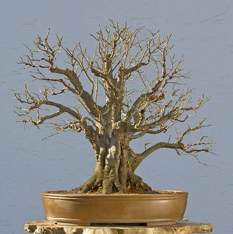 Bonsai Photo of the Day 3-30-2018
