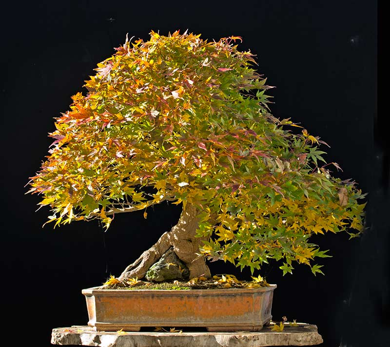 Bonsai Photo of the Day 3-5-2018