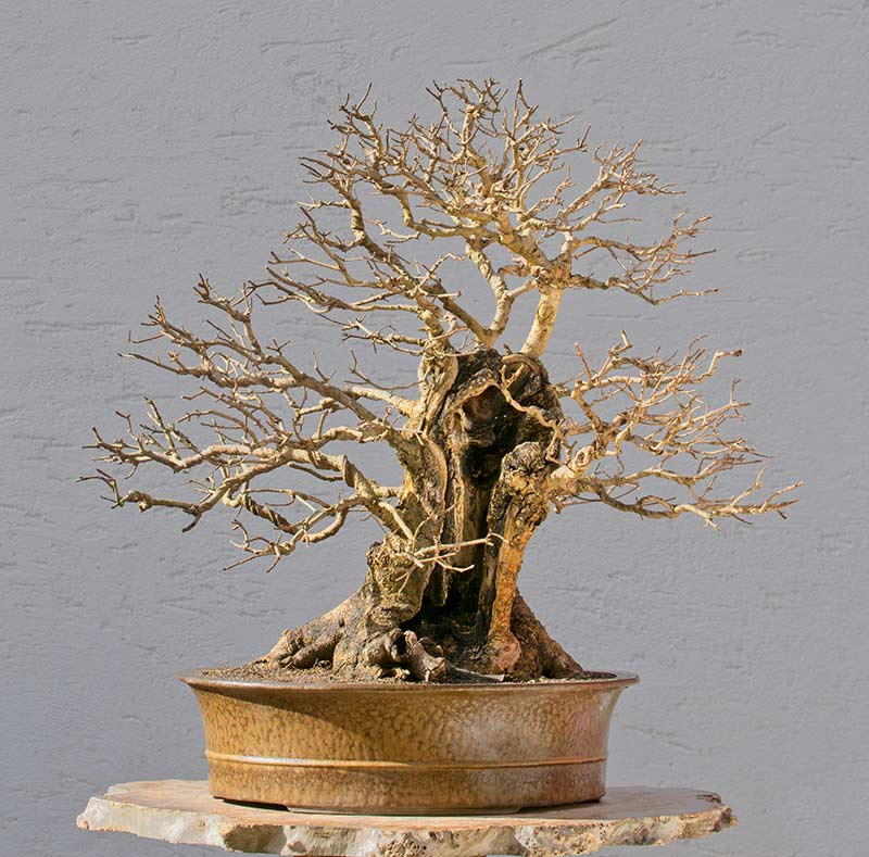 Bonsai Photo of the Day 3-6-2018