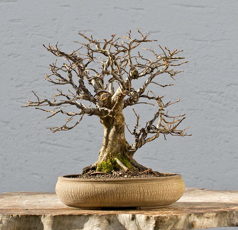 Bonsai Photo of the Day 4-11-2018