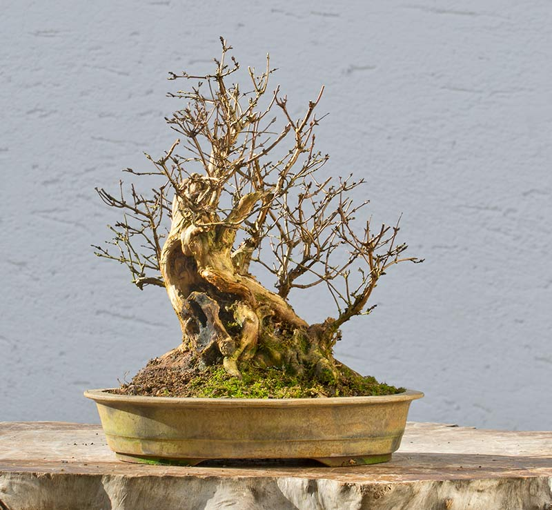 Bonsai Photo of the Day 4-12-2018
