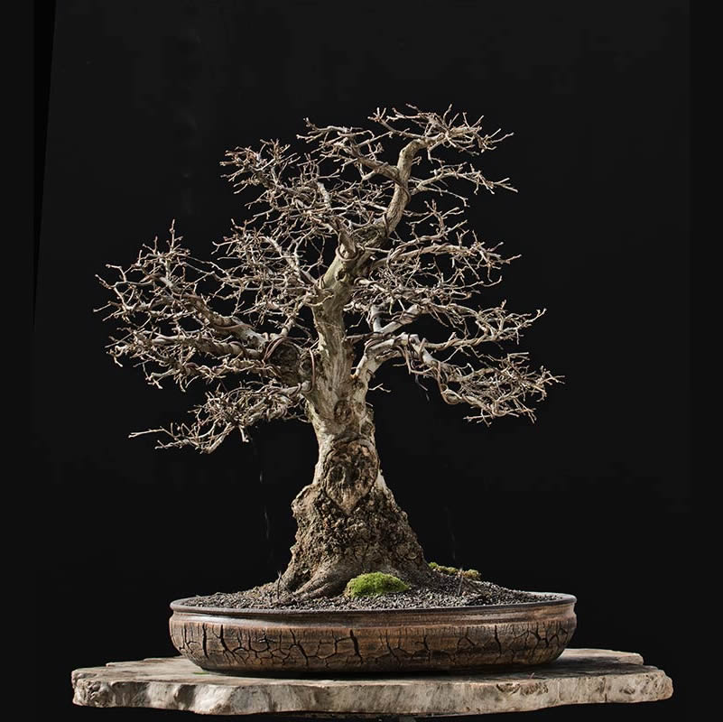 Bonsai Photo of the Day 4-13-2018