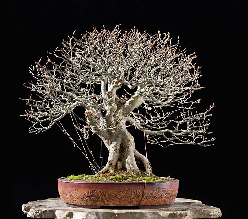 Bonsai Photo of the Day 4-17-2018