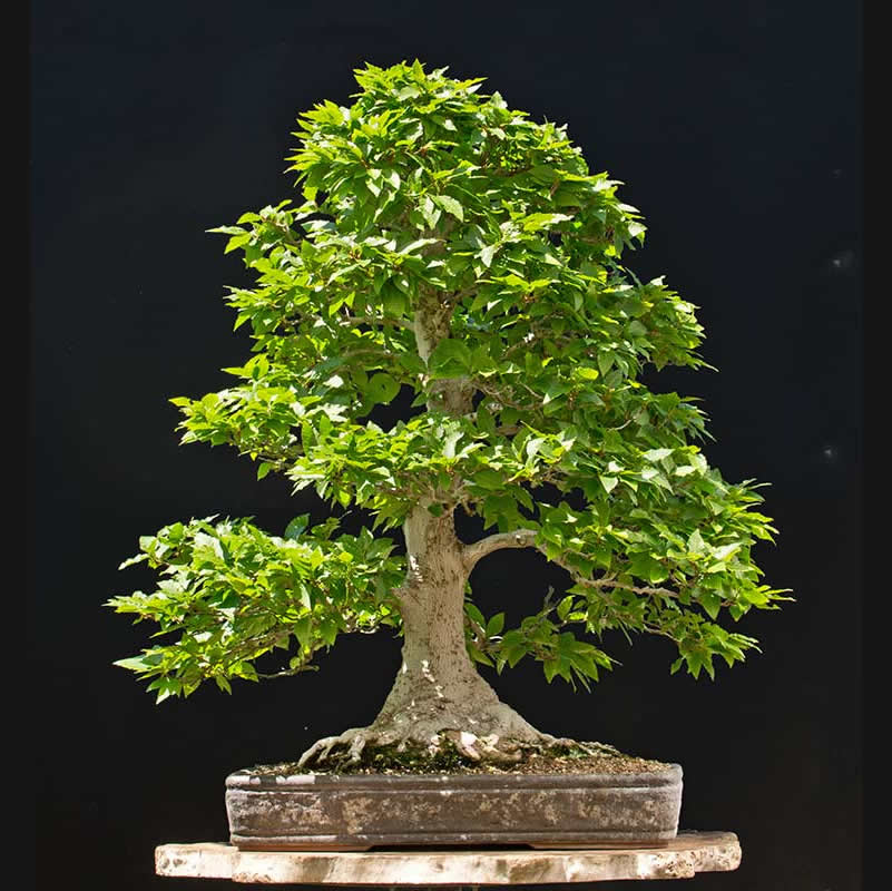 Bonsai Photo of the Day 4-18-2018