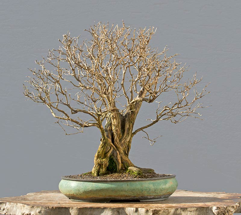 Bonsai Photo of the Day 4-2-2018