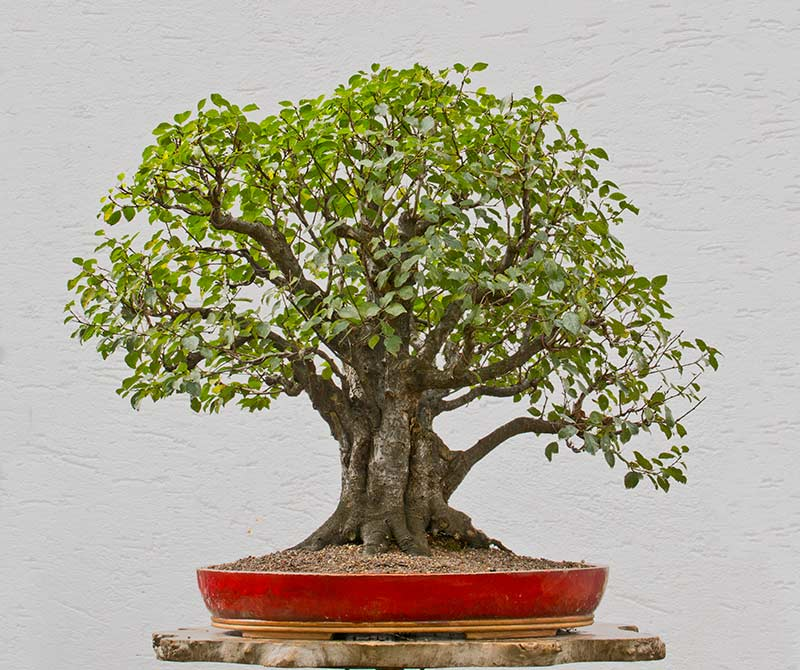Bonsai Photo of the Day 4-20-2018