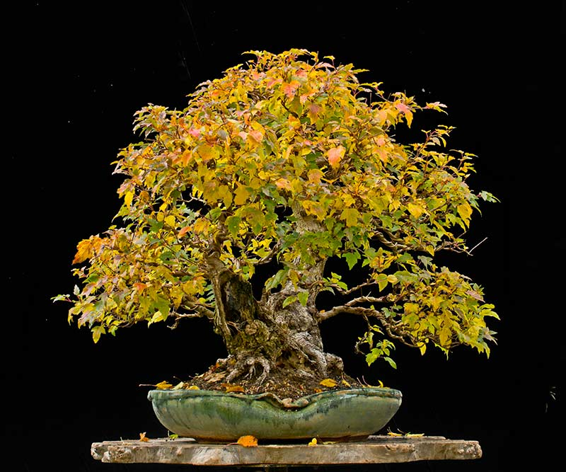 Bonsai Photo of the Day 4-23-2018
