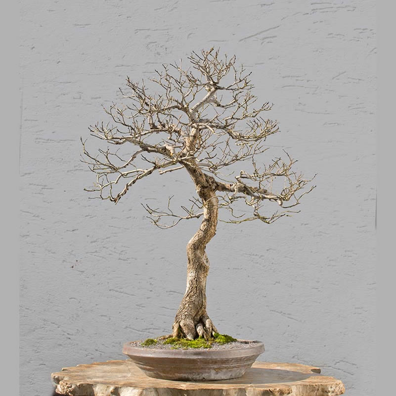 Bonsai Photo of the Day 4-24-2018