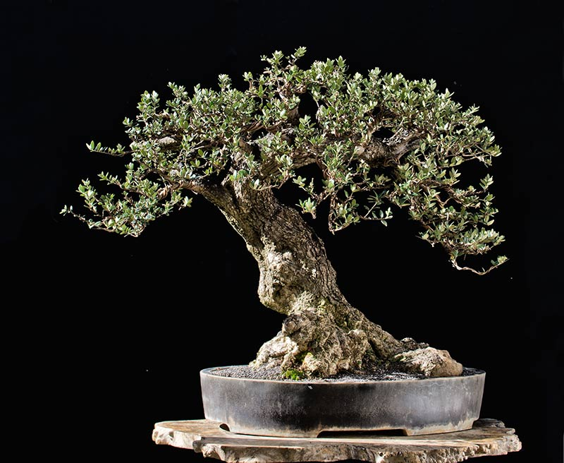 Bonsai Photo of the Day 4-25-2018
