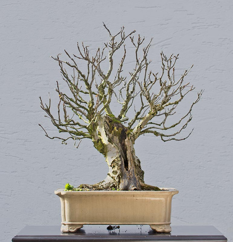 Bonsai Photo of the Day 4-3-2018