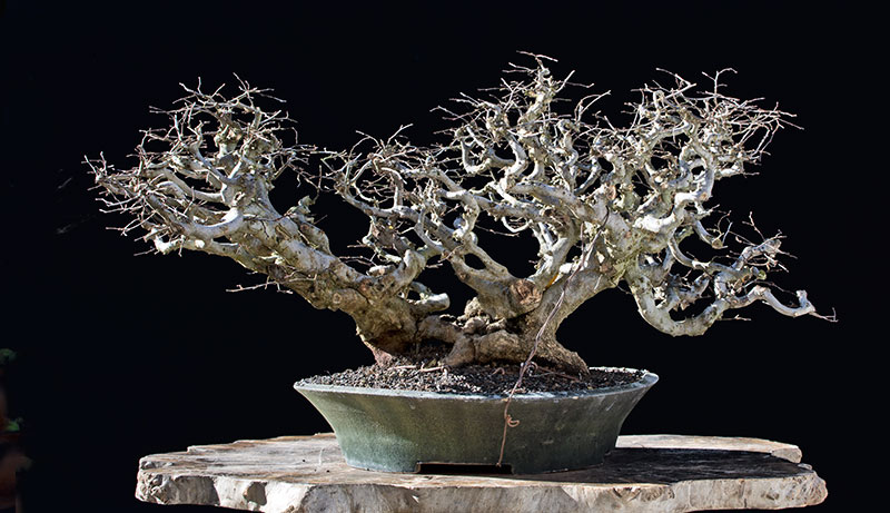 Bonsai Photo of the Day 4-5-2018