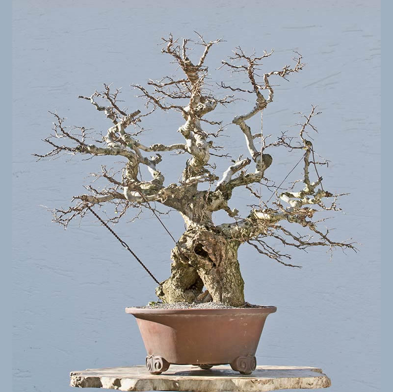 Bonsai Photo of the Day 4-6-2018