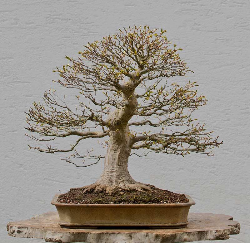 Bonsai Photo of the Day 5-14-2018