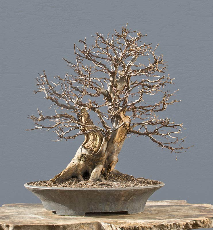 Bonsai Photo of the Day 5-16-2018