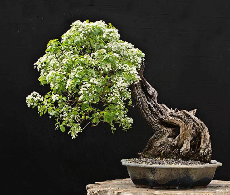 Bonsai Photo of the Day 5-17-2018