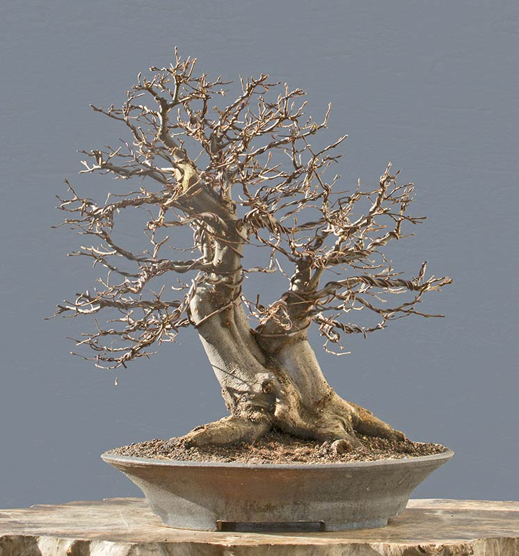 Bonsai Photo of the Day 5-18-2018