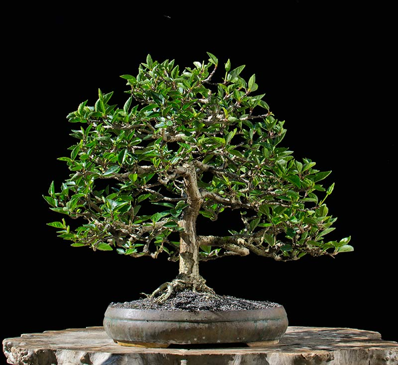 Bonsai Photo of the Day 5-22-2018