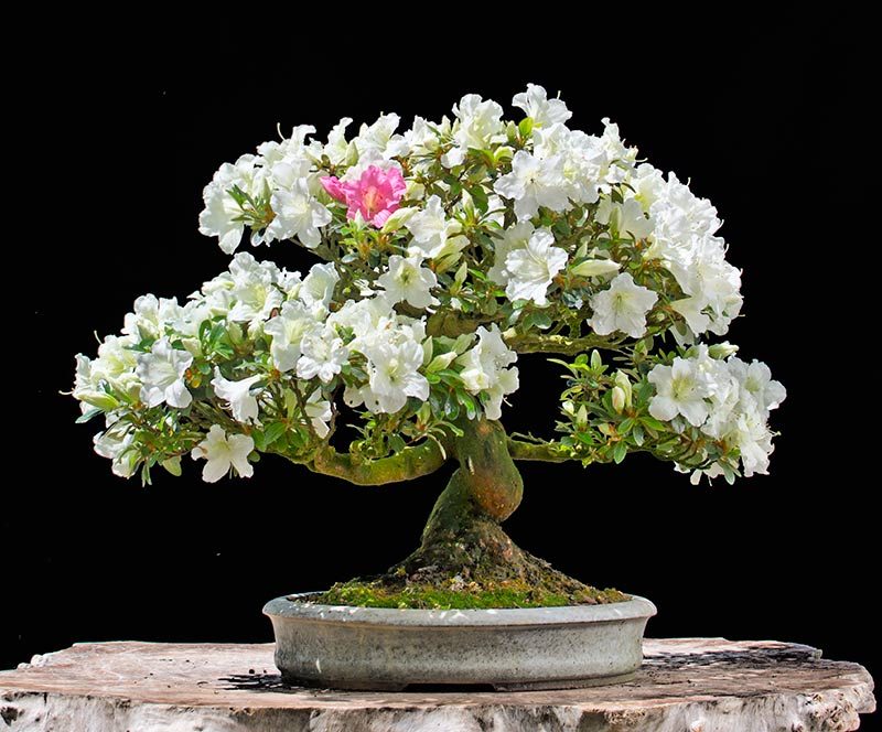 Bonsai Photo of the Day 5-23-2018