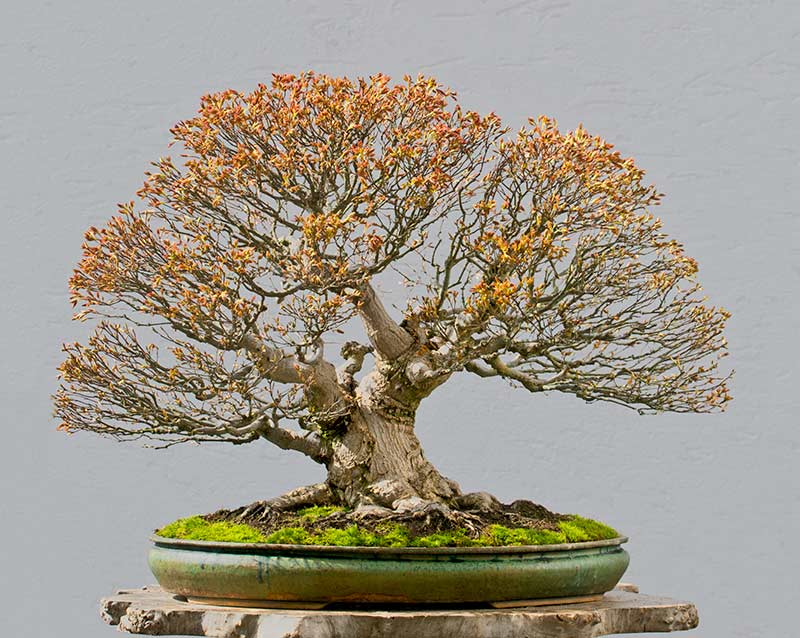 Bonsai Photo of the Day 5-29-2018