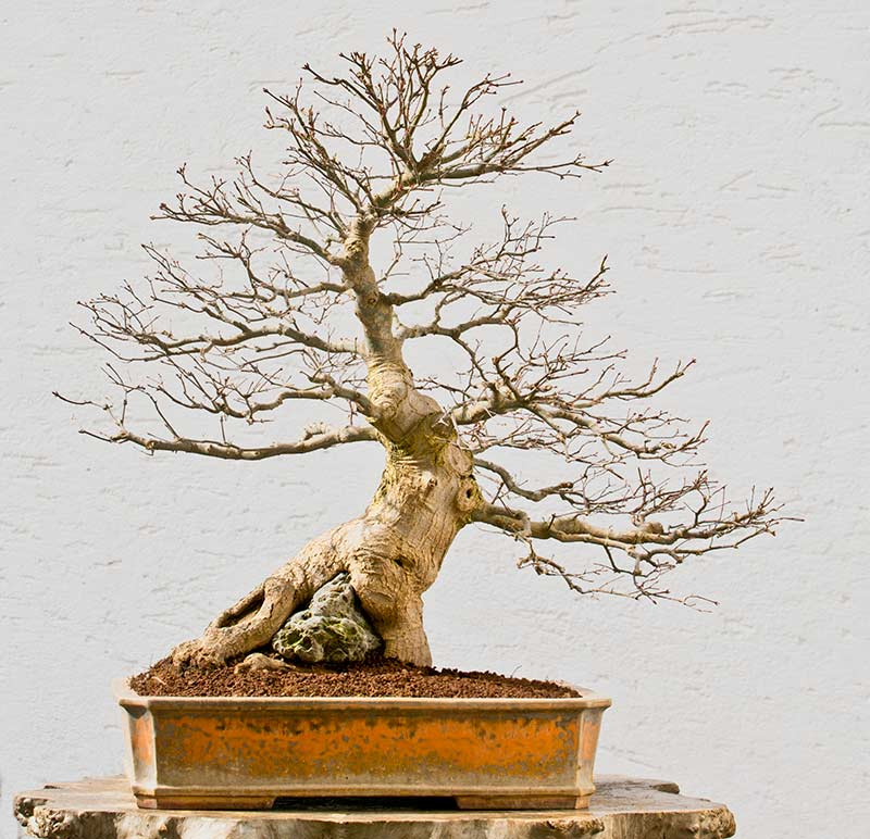 Bonsai Photo of the Day 5-31-2018